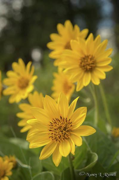 Balsamorhiza Sagittata Photograph - Summer Sunshine by Nancy Russell