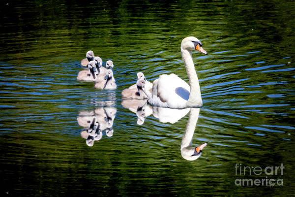 Mixed Media - Summer Swans by David Millenheft