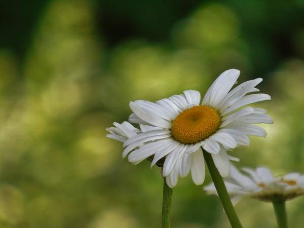 Photograph - Summer Time Daisy by Barbara St Jean