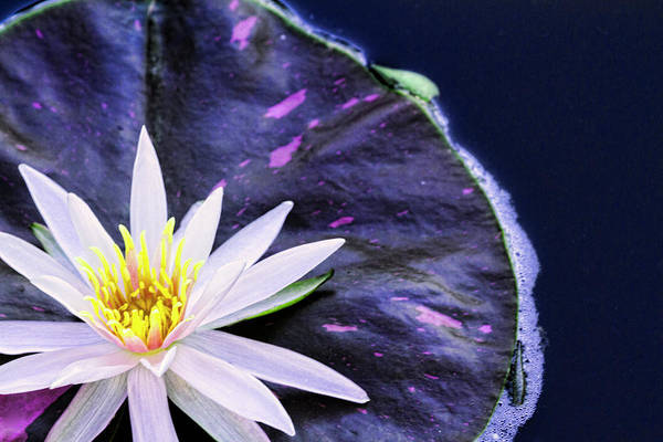 Waterlily Wall Art - Photograph - Summer Water Lily by Lindley Johnson