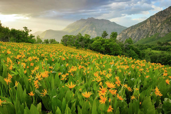 Wall Art - Photograph - Summer Wildflowers In The Wasatch Front. by Johnny Adolphson
