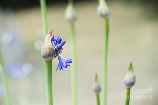 Agapanthus Photograph - Summertime Blues   by Tim Gainey