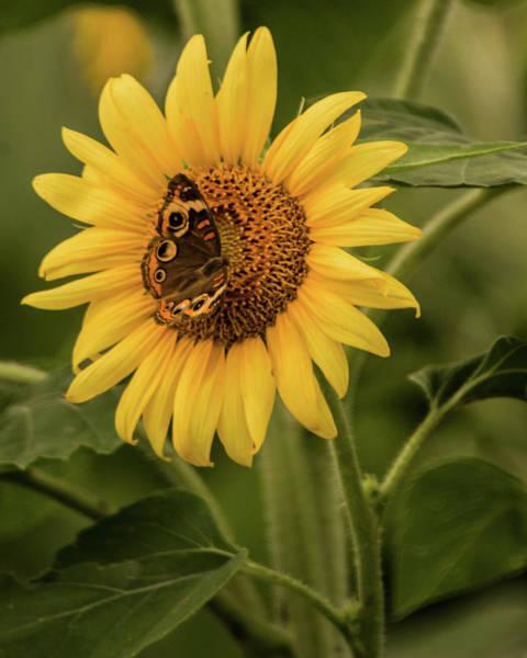 Wall Art - Photograph - Summertime Sunflower by Linda Eszenyi