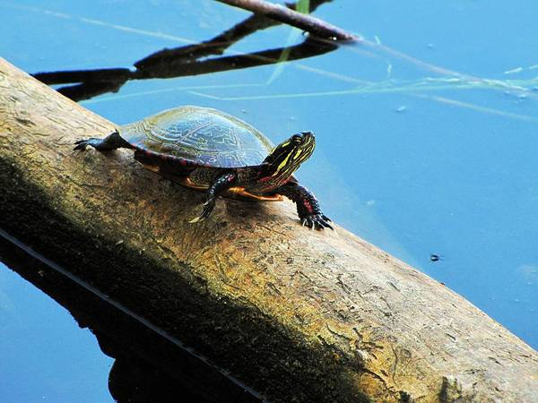 Painted Turtle Photograph - Sun Bathing by Scott Hovind