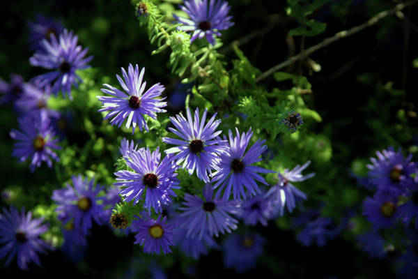 Photograph - Sun Dappled Aster 5076 H_2 by Steven Ward