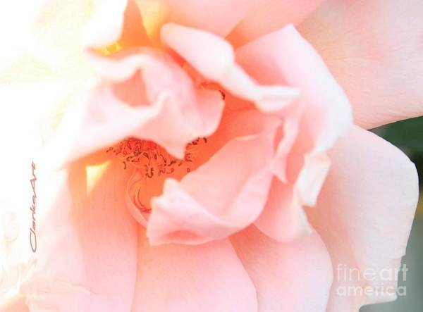 Sun-drenched Rose Art Print