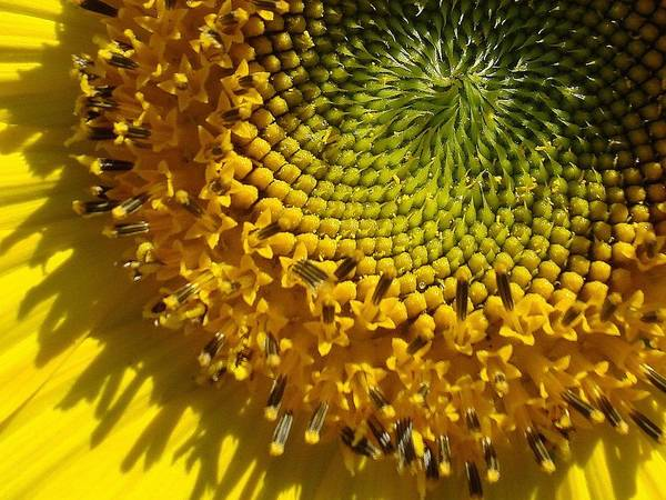 Wall Art - Photograph - Sun Flower 3 by Dahlia Tumavicus