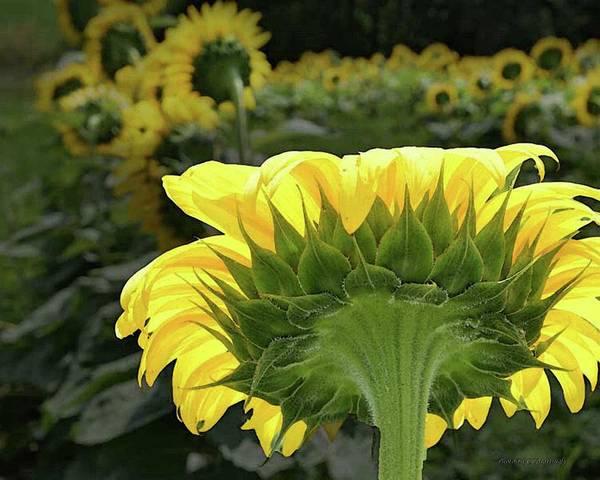 Photograph - Sun Flower by Coleman Mattingly