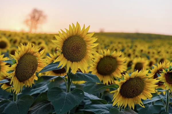 Photograph - Sun Flowers IIi by Ryan Heffron
