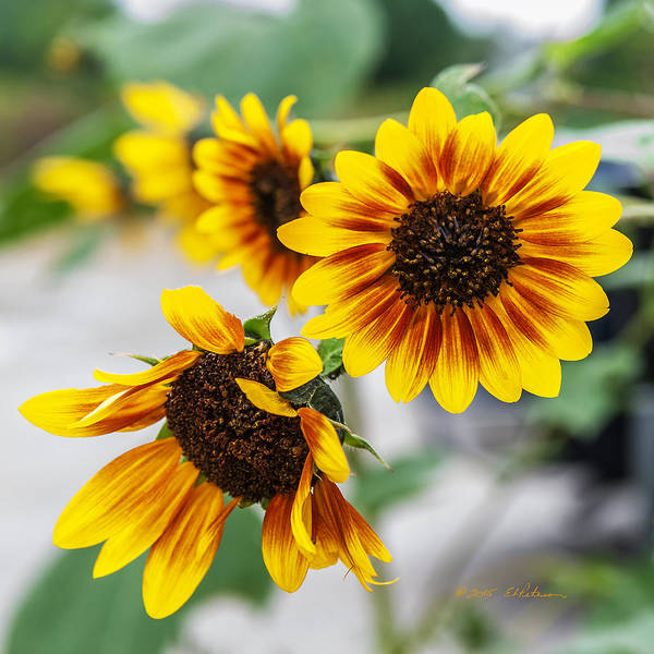 Photograph - Sun Flowers In Bloom by Edward Peterson