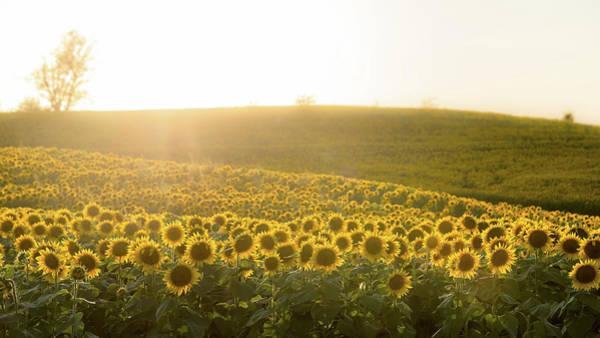 Photograph - Sun Flowers by Ryan Heffron