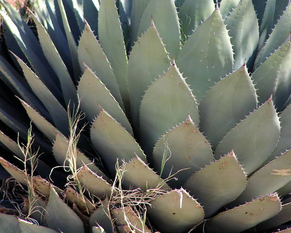 Photograph - Sun-kissed Agave by Colleen Cornelius