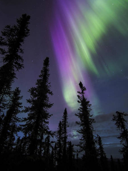 Photograph - Sun-kissed Aurora Above The Spruces by Ian Johnson