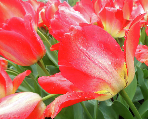 Photograph - Sun Lights Tulips After Spring Rain by Kristin Aquariann