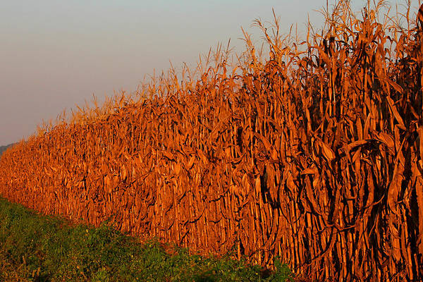 Photograph - Sun-painted Cornfield by Patricia Montgomery