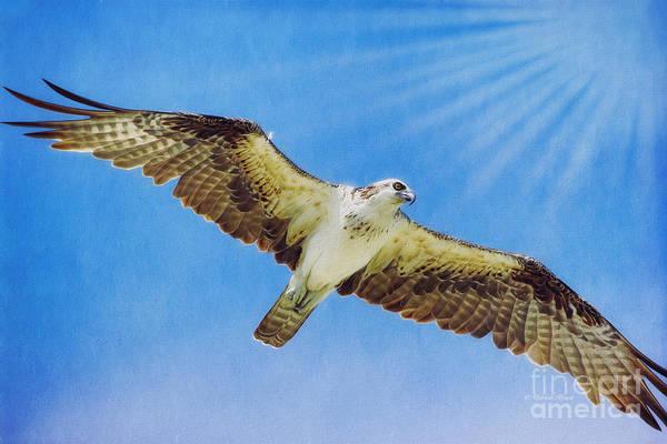 Photograph - Sun Ray Osprey by Deborah Benoit