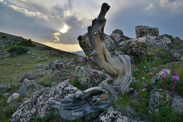 Photograph - Sun Setting On Mt. Goliath Bristlecone Pine by Ray Mathis