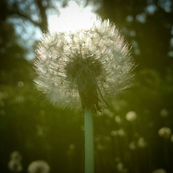 Photograph - Sun Through A Dandelion by Chris Bordeleau