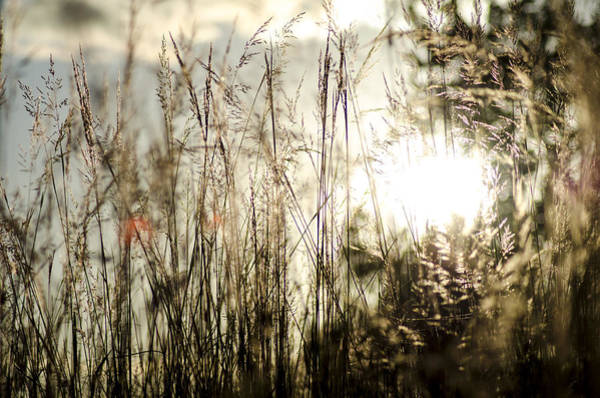 Rood Wall Art - Photograph - Sun Through The Reeds by Joel Rood