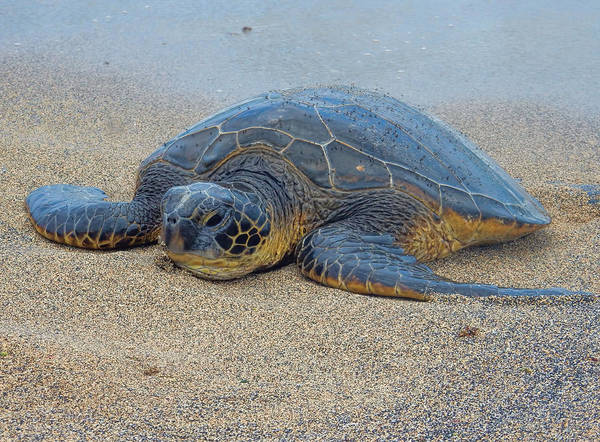 Photograph - Sunbathing Honu by Pamela Walton