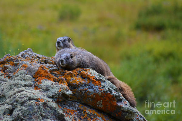 Photograph - Sunbathing Marmots by Kate Avery