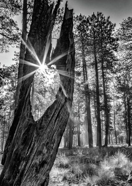 Wall Art - Photograph - Sunbeam Through Old Tree In Forest - Monochrome by Susan Schmitz