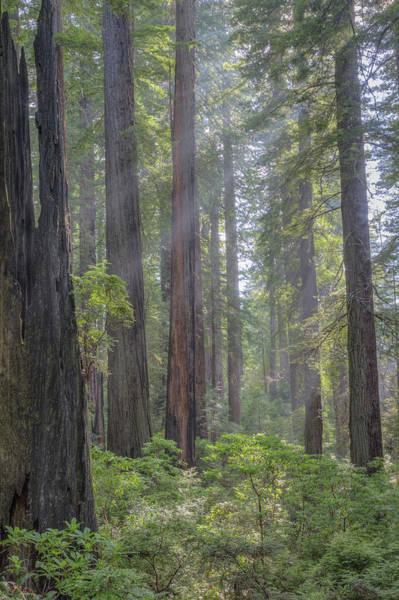 Redwood City Wall Art - Photograph - Sunbeams Through The Forest by Paul Schultz