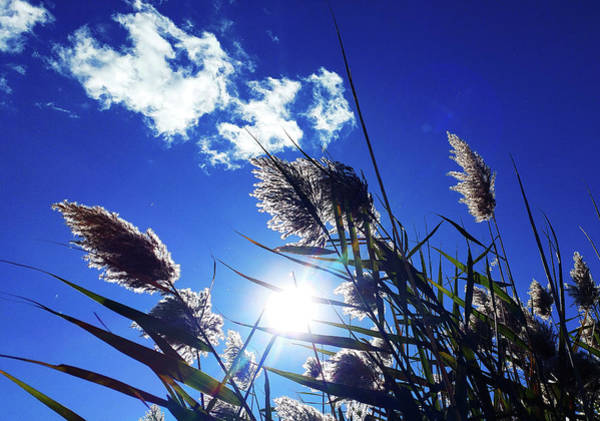 Photograph - Sunburst Reeds by Roger Bester