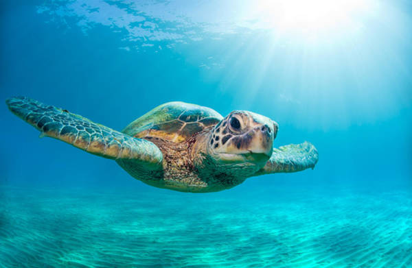 Light Blue Photograph - Sunburst Sea Turtle by Michael Swiet