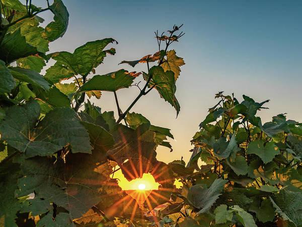 Photograph - Sunburst Through The Vines by Framing Places