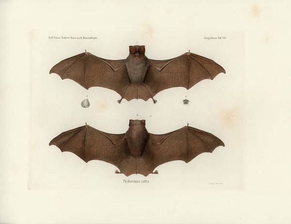 Drawing - Sundevall's Roundleaf Bat, Hipposideros Caffer by C H Haas