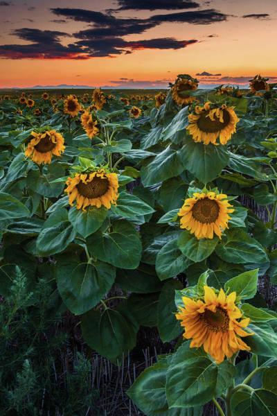 Photograph - Sundown And Sunflowers by John De Bord