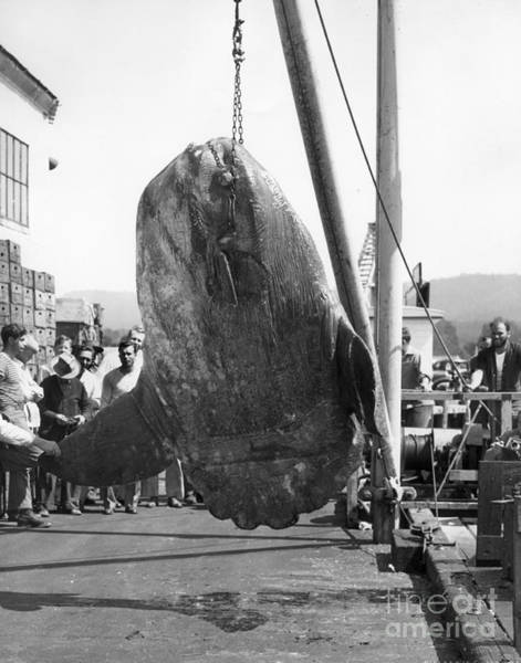 Photograph - Sunfish Mola Mola On Monterey's Wharf Two June 20 1946 by California Views Archives Mr Pat Hathaway Archives