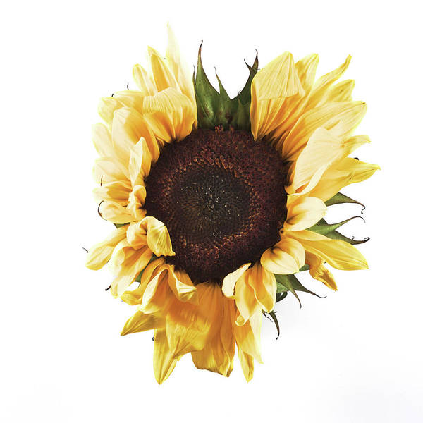 Photograph - Sunflower #1 by Desmond Manny