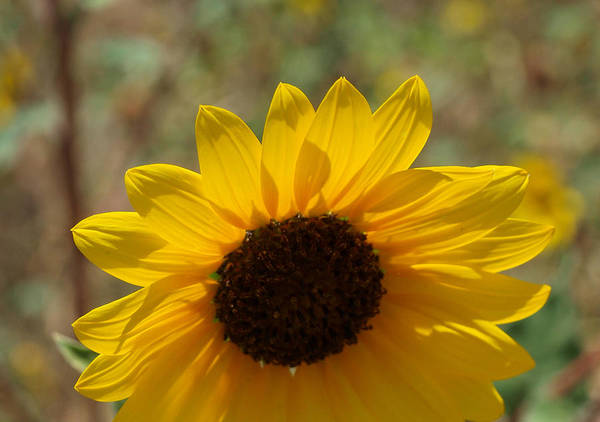 Photograph - Sunflower 1 by James Granberry