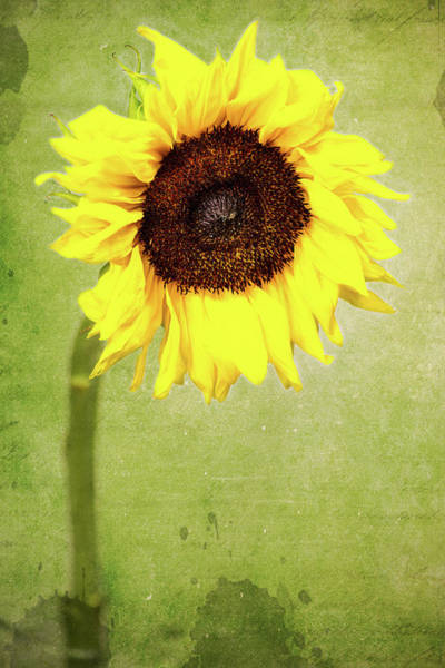 Wall Art - Photograph - Sunflower 1 by Kevin O'Hare