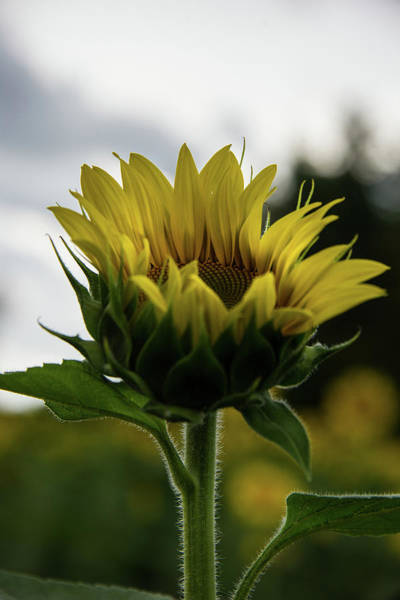 Photograph - Sunflower 1 by Lindy Grasser