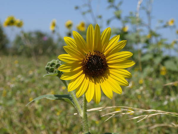 Photograph - Sunflower 10 by James Granberry