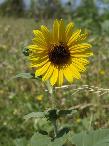 Photograph - Sunflower 11 by James Granberry