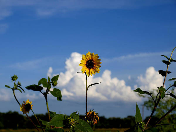 Photograph - Sunflower 12a by James Granberry