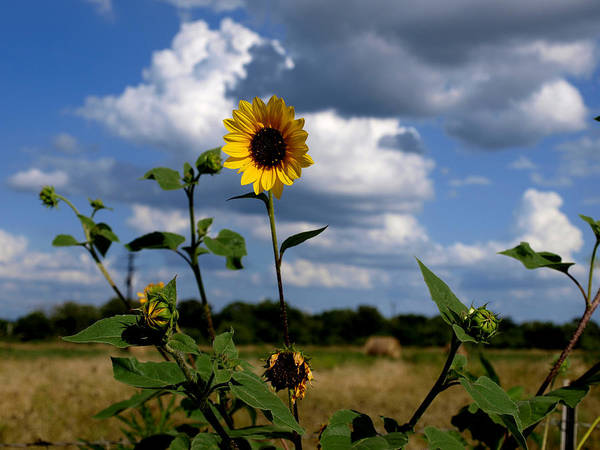 Photograph - Sunflower 12b by James Granberry