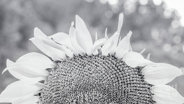 Photograph - Sunflower 18  by Andrea Anderegg