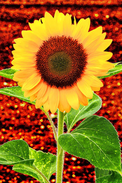 Photograph - Sunflower 2 by Bob Slitzan