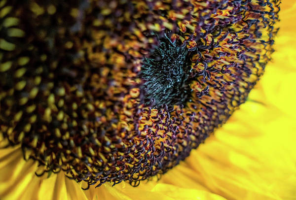 Wall Art - Photograph - Sunflower 2 by Elijah Knight