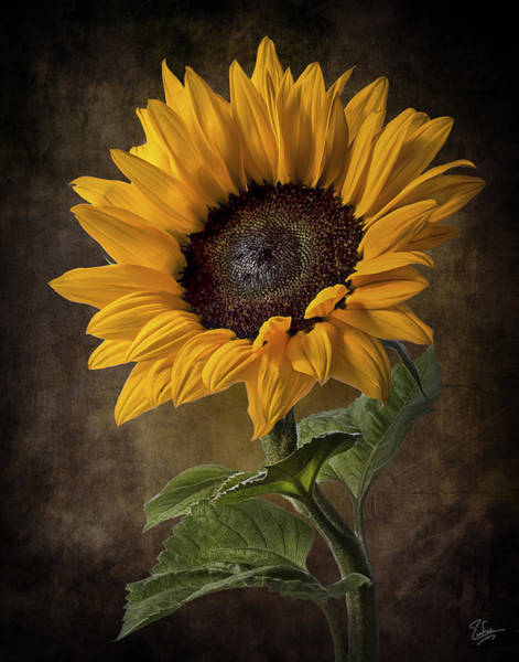 Photograph - Sunflower 2 by Endre Balogh