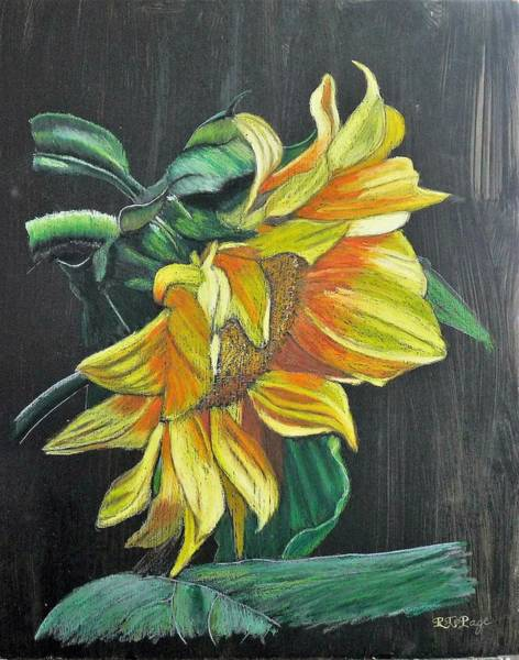 Pastel - Sunflower 2 by Richard Le Page