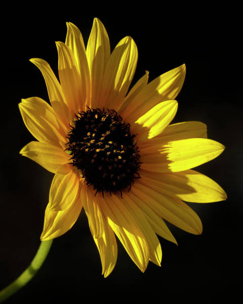 Photograph - Sunflower 2 by Rob Graham