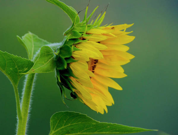 Photograph - Sunflower 2017 2 by Buddy Scott