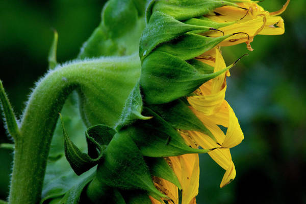 Photograph - Sunflower 2017 8 by Buddy Scott