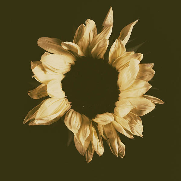 Photograph - Sunflower #3 by Desmond Manny